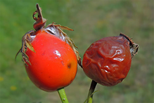 Carpomyia schineri galling rose hip