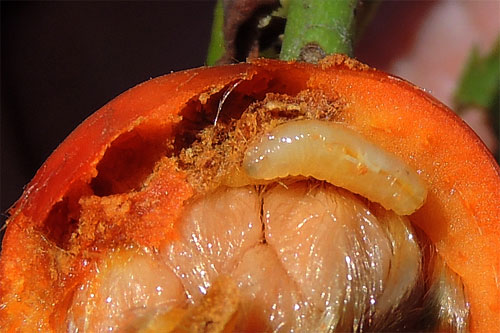 Carpomyia schineri: larva in situ