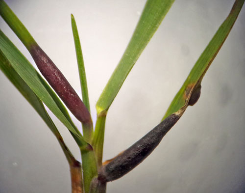 Subanguina graminophila: galls on Agrostis capillaris