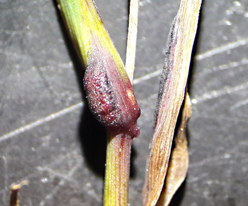 Subanguina graminophila: gall on Agrostis capillaris