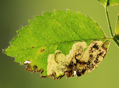 Ectoedemia angulifasciella: occupied mine on Rosa canina