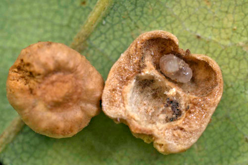 Cynips disticha gall on Quercus robur