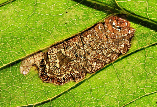 Stigmella viscerella: mine on Ulmus
