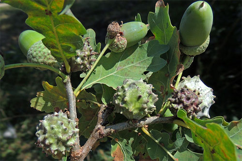 Andricus hungaricus: gall on Quercus robur