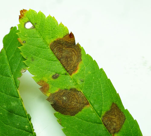 Leucptera malifoliella: old mines on Sorbus aucuparia