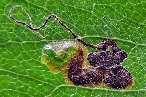 Stgmella pyri: mine on Pyrus calleryana