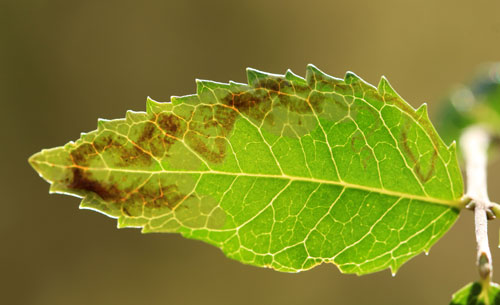 Stigmella suberivora: vacated mine on Quercus cocifera