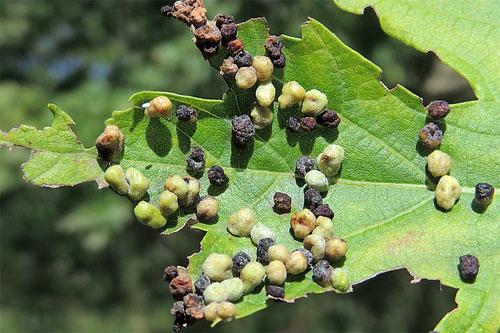 Vasates quadripedes: galls on Acer saccharinum