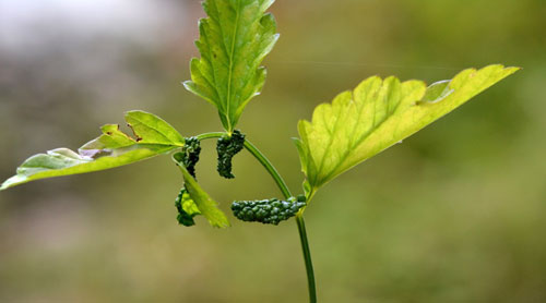 Trioza apicalis: galls on Pimpinella major