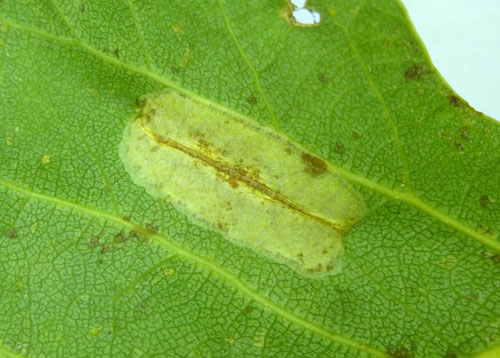 Phyllonorycter connexella mine on Populus canadensis