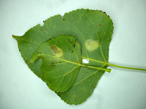 Phyllonorycter comparella: mines on Populus x canadensis