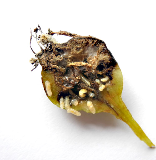 Contarinia pyrivora: galled fruit, later stage, opened