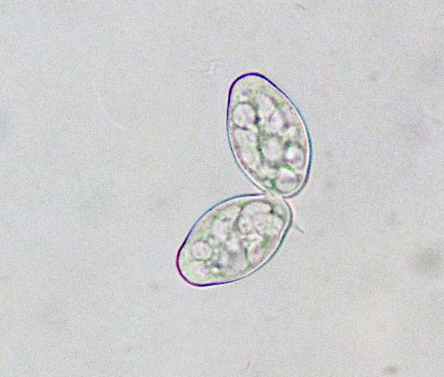 Golovonomyces salviae: conidia