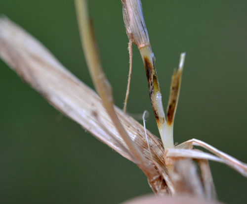 Tetramesa spec. on Agrostis cf capillaris