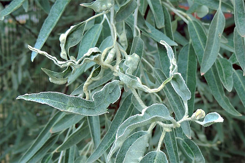 Aceria angustifoliae: galls on Elaeagnus angustifolia