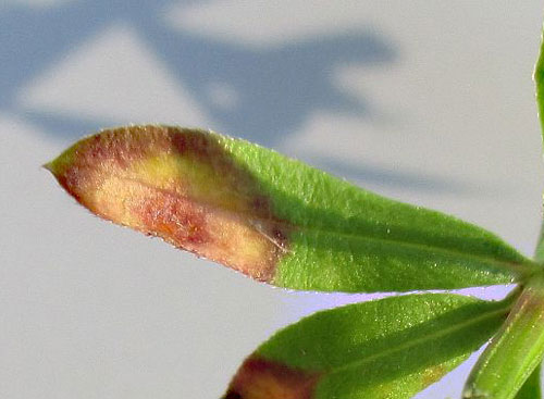 Puccinia punctata on Galium mollugo