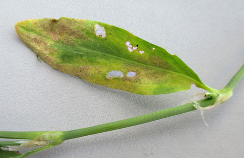 Peronospora polygoni on Polygonum aviculare