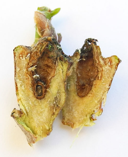 Andricus inflator: gall on Quercus robur