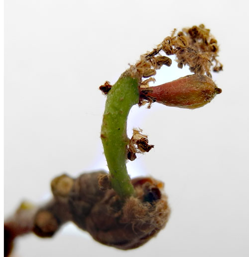 Andricus semnationis: gall on Quercus robur