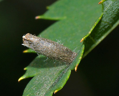 Coleophora spinella: case on Sorbus aucuparia