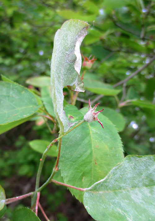 Podosphaera amelanchieris on Amelanchier lamarckii