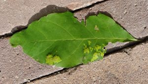 Taphrina caerulescens on Quercus rubra seedling