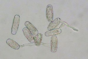 Erysiphe cruciferarum: conidia, germinating