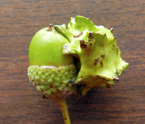 Andricus quercuscalicis, knopper gall