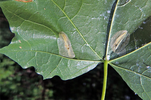 Phyllonoryter joannisi: mines on Acer platanoides