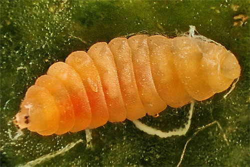 Dasineura rosae: mature larva