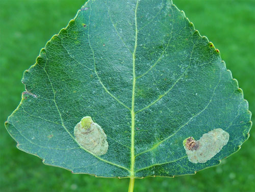 Phyllonorycter populifoliella: mines on Populus x canadensis