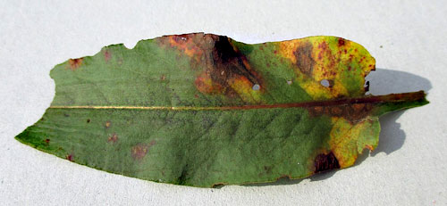 Puccinia bistortae on Bistorta officinalis