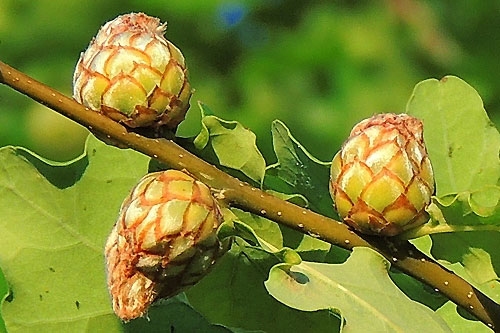 Andricus foecundatrix: galls on Quercus robur