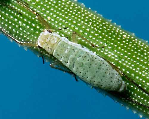 Essigella californica: aptera on Pinus montezumae