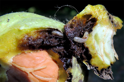 Rhagoletis completa: damage on Juglans regia fruits