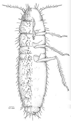 Atheroides doncasteri (from Wieczorek, 2009)