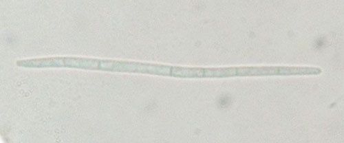 Septoria galinsogae: conidium