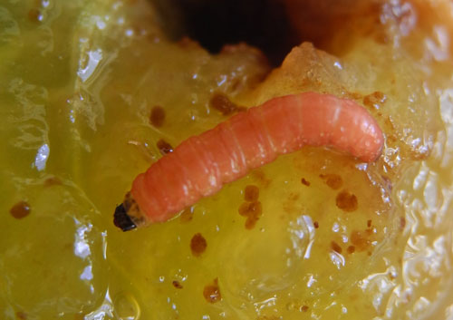 Grapholitha funebrana larva on Prunus domestica