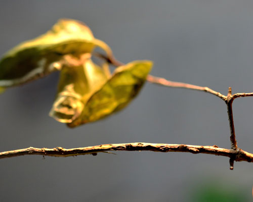 Pterotopteryx dodecadactyla: gall on Lonicera xylosteum