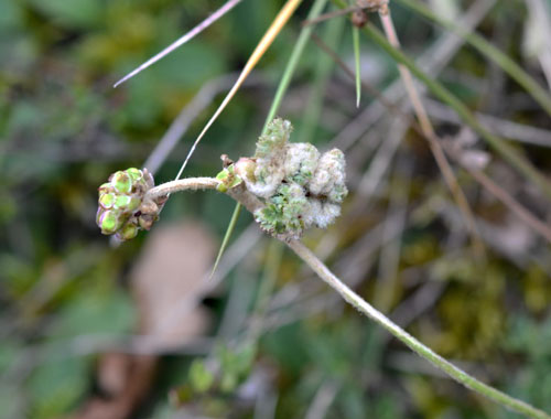 Aceria sanguisorbae: gall on Sanguisorba minor