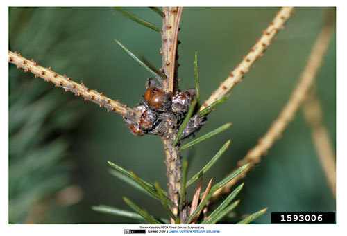 Physokermes piceae: females on Picea glauca
