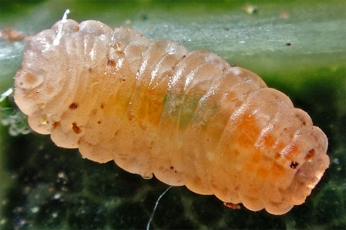 Dasineura irregularis: mature larva