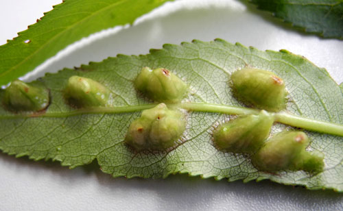 Euura proxima: unusual galls on Salix x fragilis
