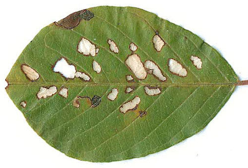 Bucculatrix frangutella: feeding traces on Frangula alnus