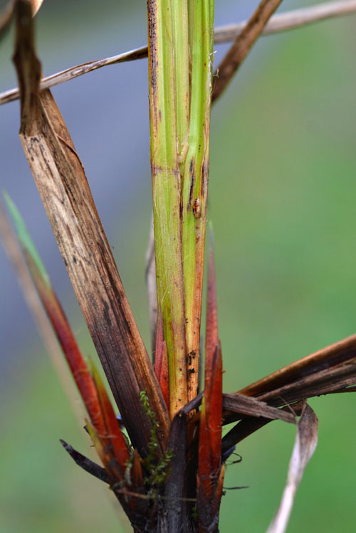 Planetella tarda: gall on Carex acuta