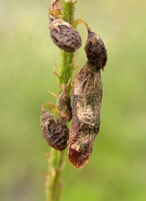 Coleophora trifolii: cases on Melilotus albus