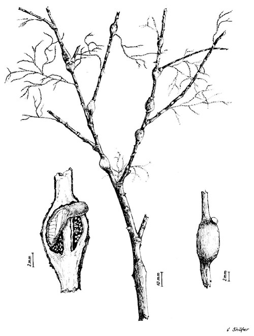 Parapodia sinaica: galls on Tamarix