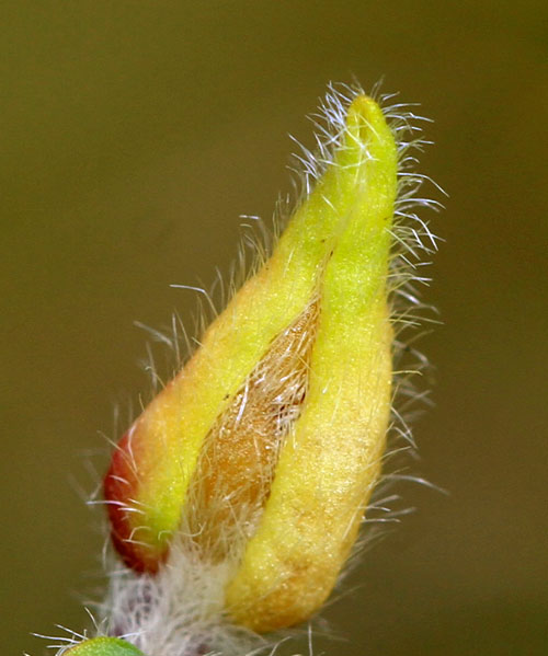 Dasineura cytisi: gall on Genista sagittalis