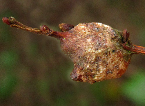 Rabdophaga dubiosa: gall on Salix cinerea