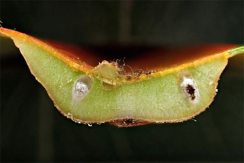 Gymnosporangium sabinae on Pyrus calleryana: section